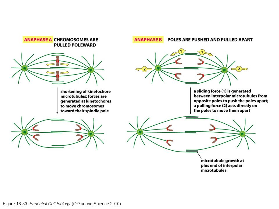 Figure 18-30 Essential Cell Biology (© Garland Science 2010)