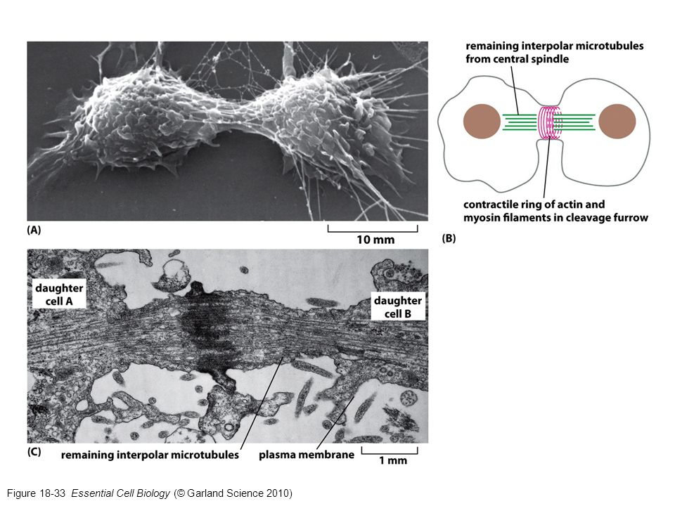 Figure 18-33 Essential Cell Biology (© Garland Science 2010)