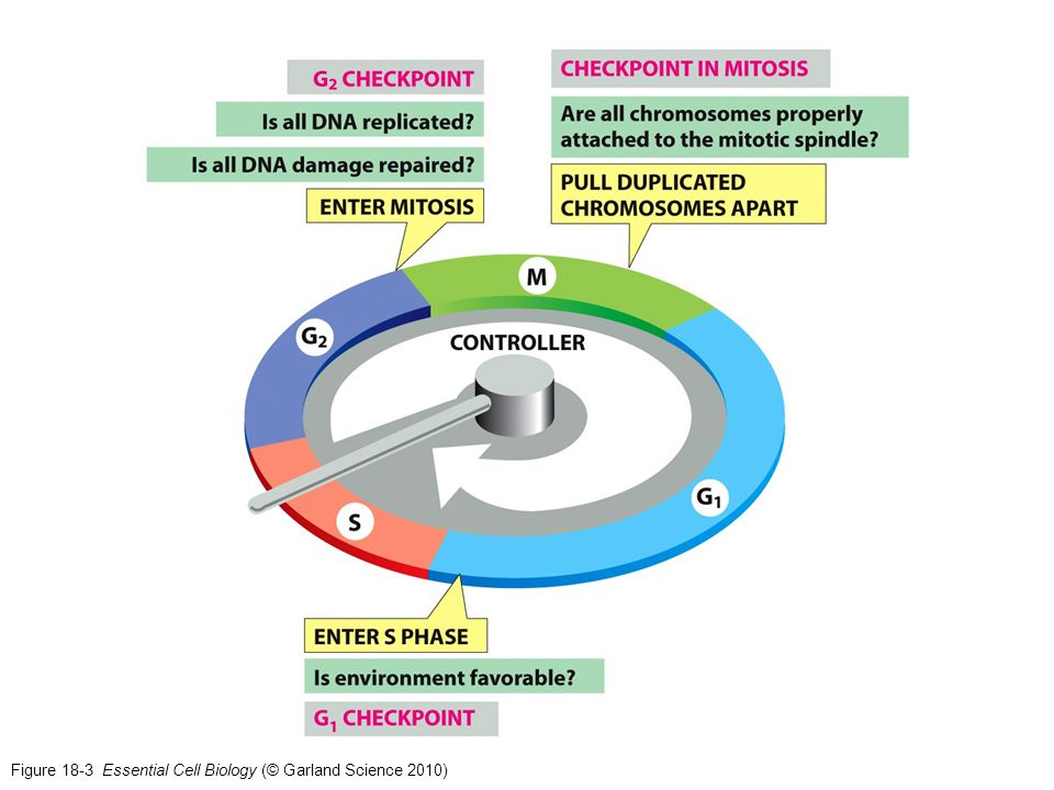 Figure 18-3 Essential Cell Biology (© Garland Science 2010)