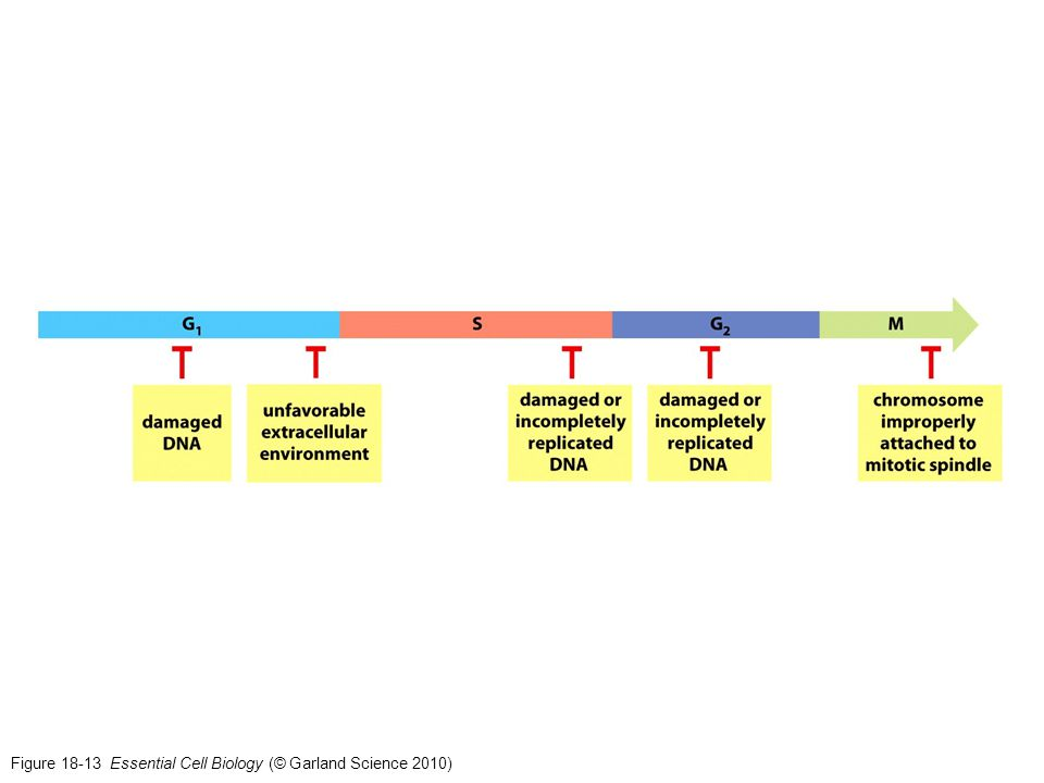Figure 18-13 Essential Cell Biology (© Garland Science 2010)
