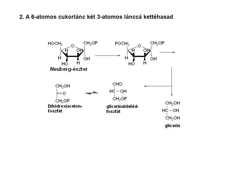 2. A 6-atomos cukorlánc két 3-atomos lánccá kettéhasad