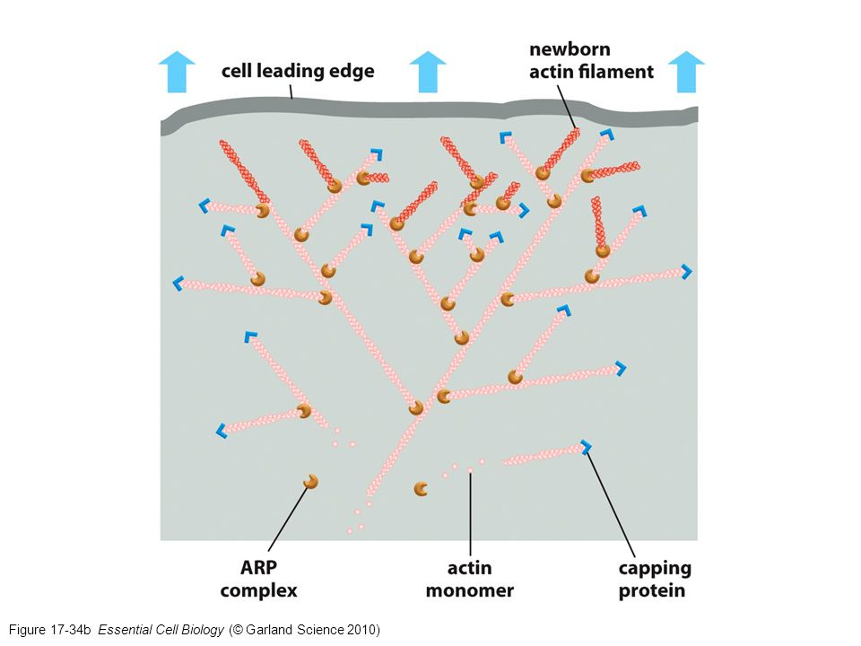 Figure 17-34b Essential Cell Biology (© Garland Science 2010)