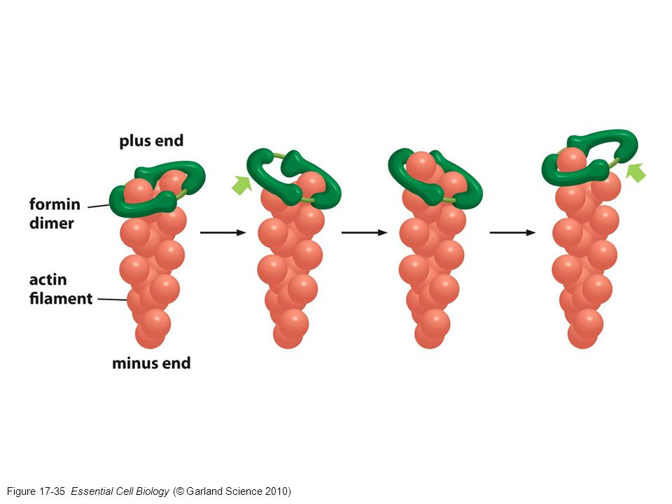 Figure 17-35 Essential Cell Biology (© Garland Science 2010)