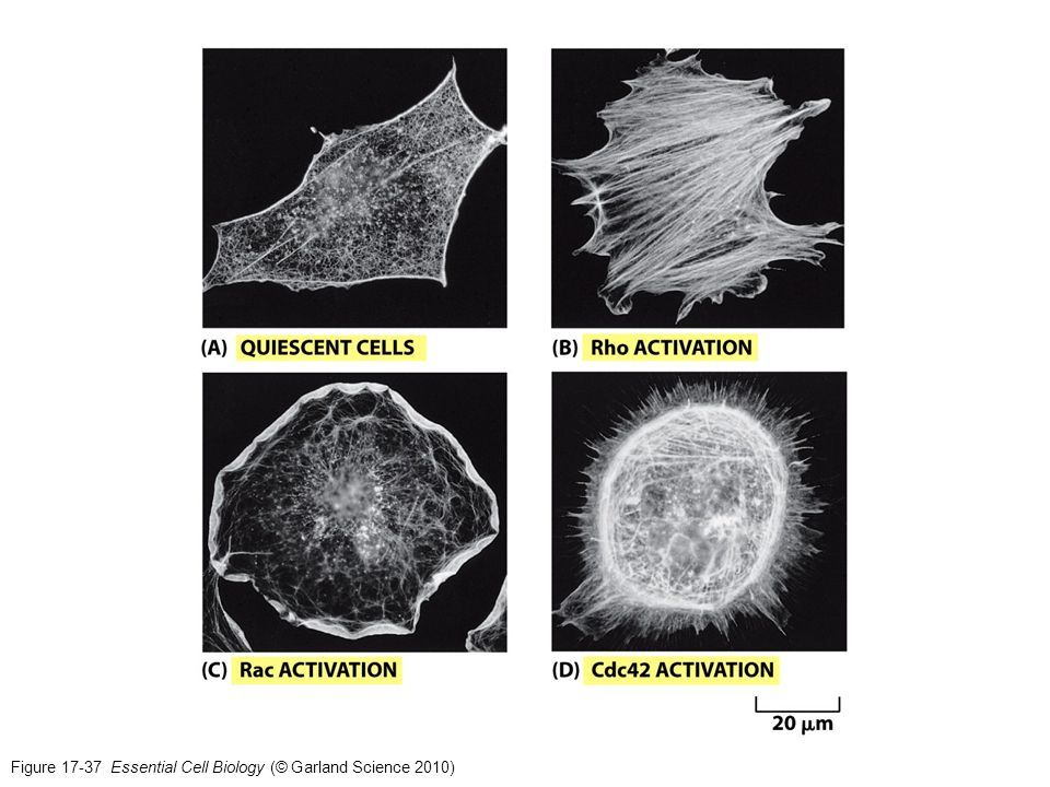 Figure 17-37 Essential Cell Biology (© Garland Science 2010)