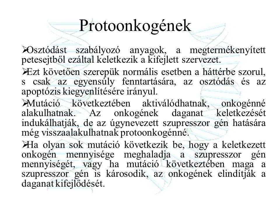 Protoonkogének Osztódást szabályozó anyagok, a megtermékenyített petesejtből ezáltal keletkezik a kifejlett szervezet.
