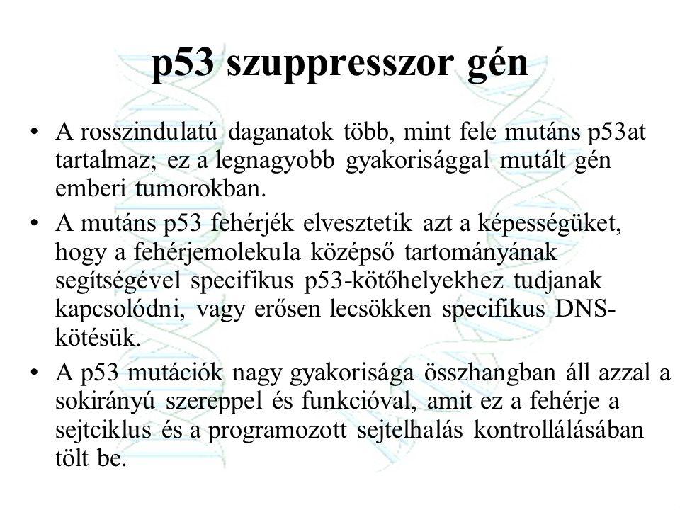 p53 szuppresszor gén A rosszindulatú daganatok több, mint fele mutáns p53at tartalmaz; ez a legnagyobb gyakorisággal mutált gén emberi tumorokban.