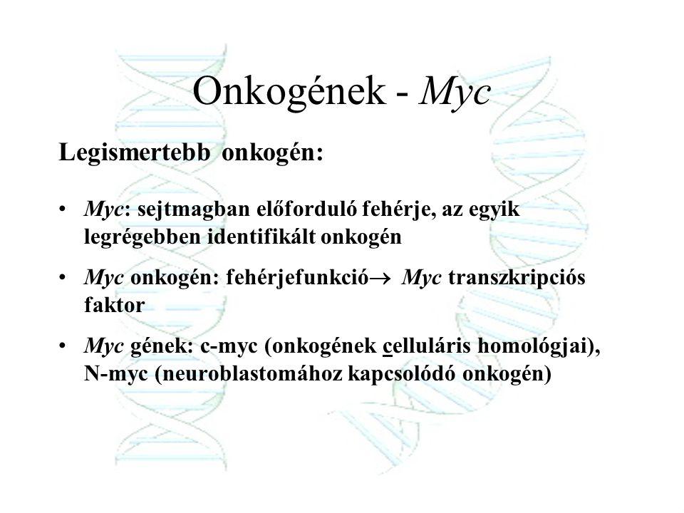 Onkogének - Myc Legismertebb onkogén:
