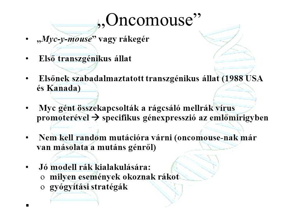 """""""Oncomouse """"Myc-y-mouse vagy rákegér Első transzgénikus állat"""