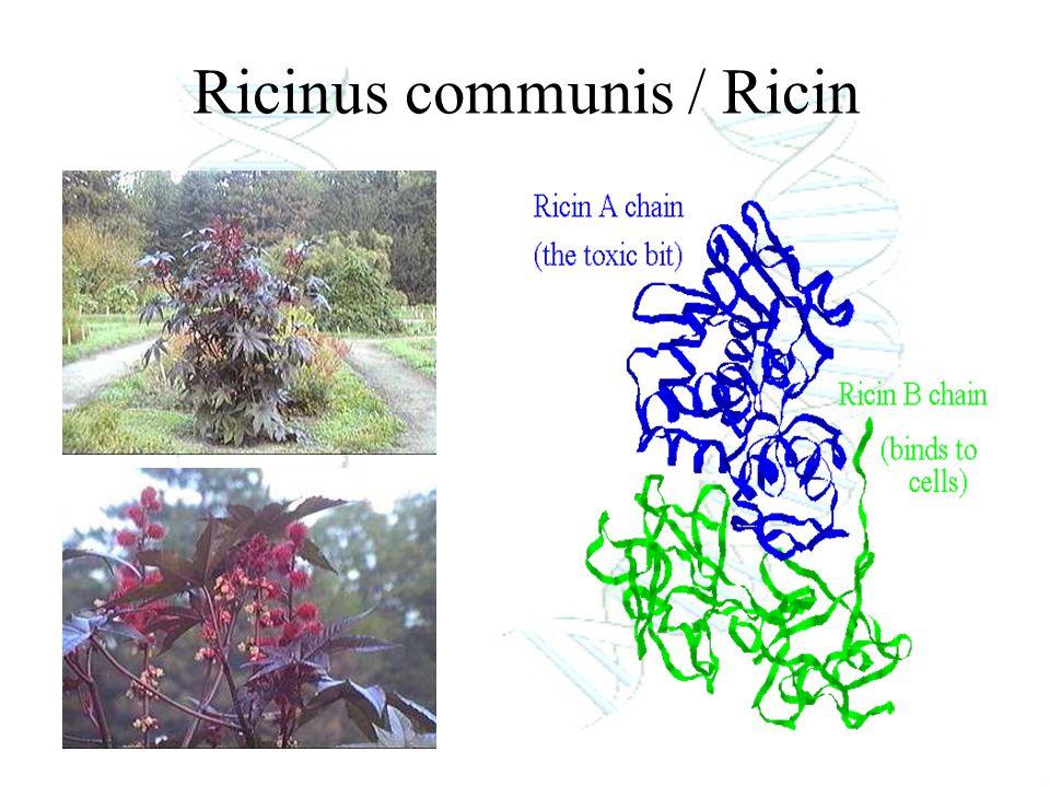 Ricinus communis / Ricin