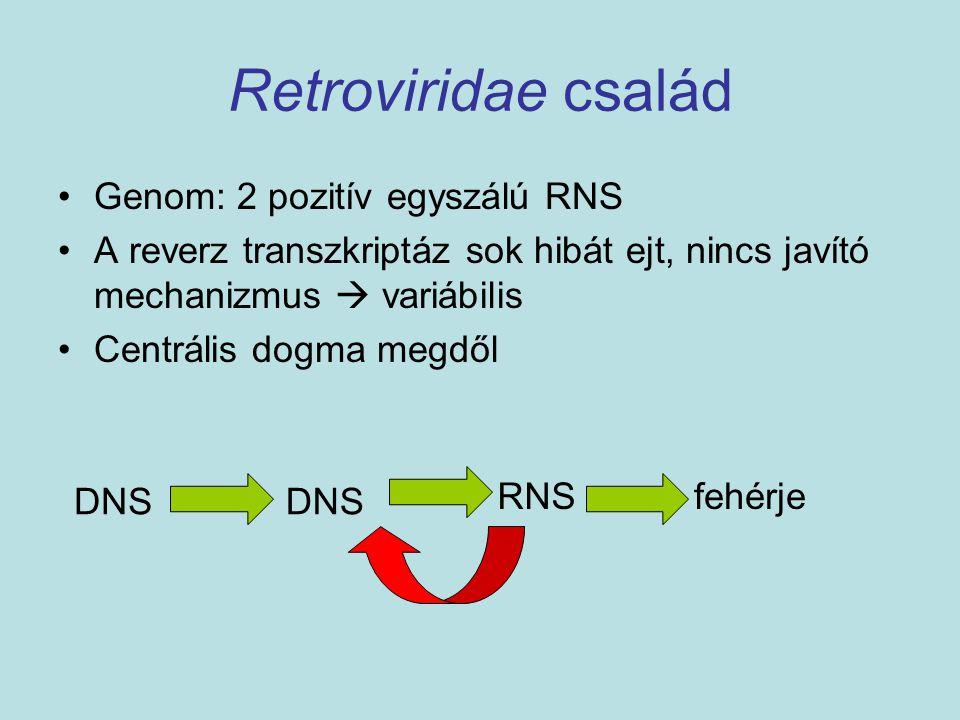 Retroviridae család Genom: 2 pozitív egyszálú RNS