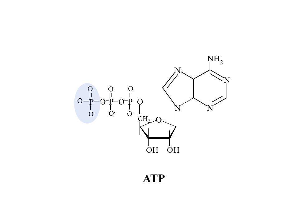 N H 2 O P C H2 O- OH -O ATP