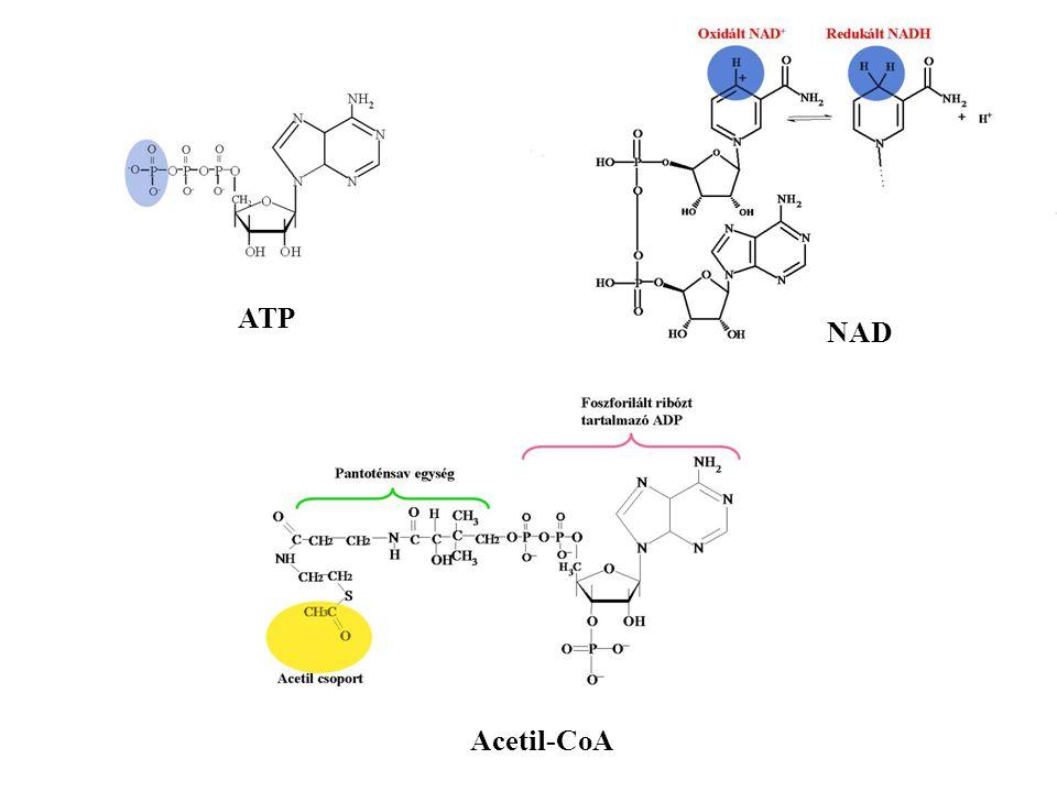 ATP NAD Acetil-CoA