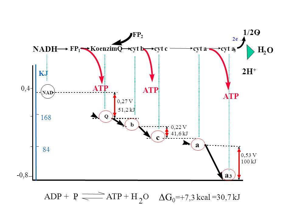 ΔG0 ADP + P ATP + H H O 2H 1/2O NADH ATP ATP ATP c a a O =+7,3