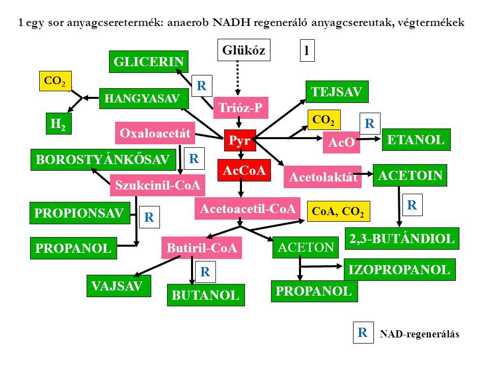 Glükóz l GLICERIN R TEJSAV Trióz-P H2 R Oxaloacetát Pyr AcO ETANOL