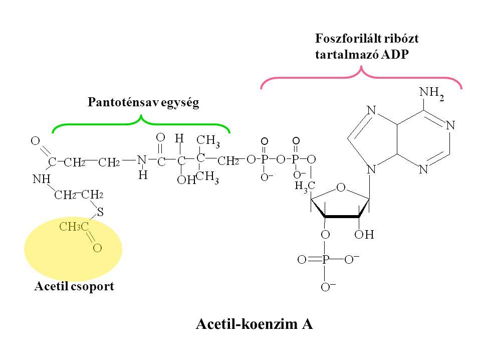 Acetil-koenzim A Foszforilált ribózt tartalmazó ADP Pantoténsav egység
