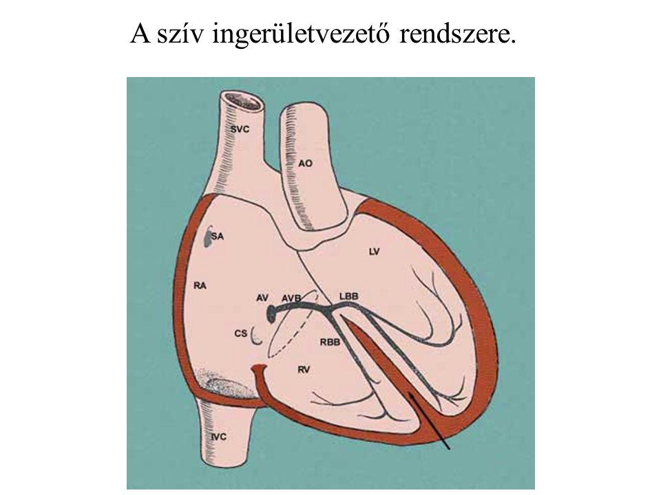 A szív ingerületvezető rendszere.