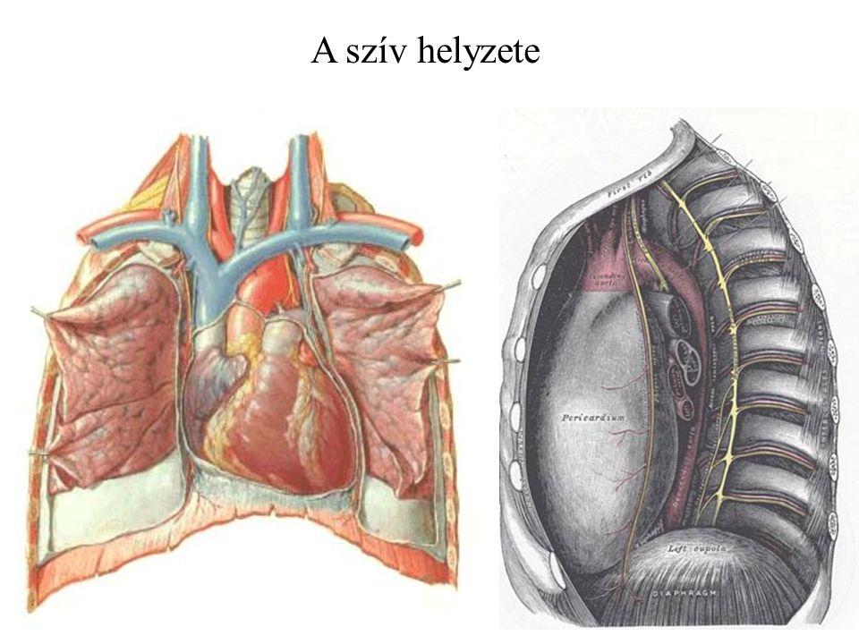 A szív helyzete