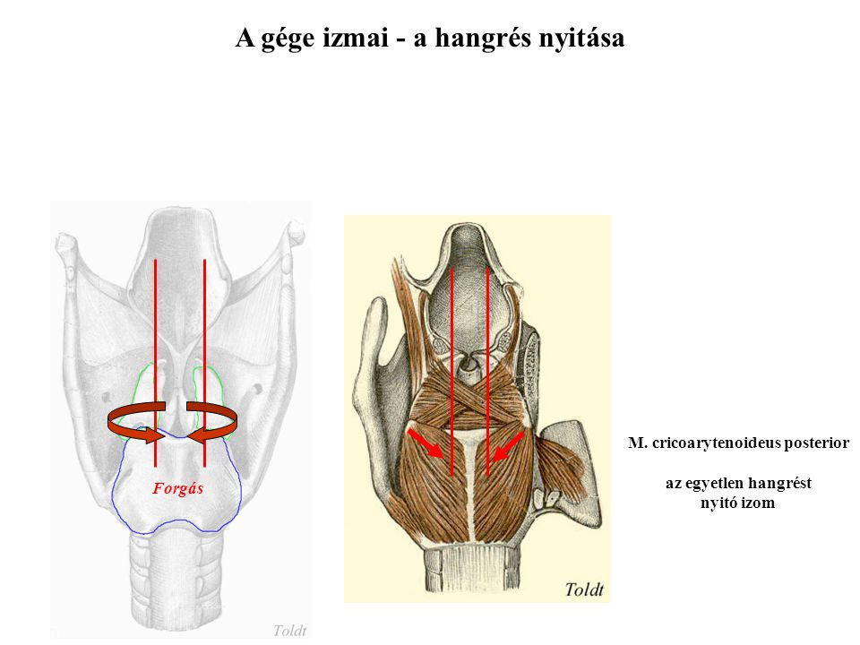 A gége izmai - a hangrés nyitása M. cricoarytenoideus posterior