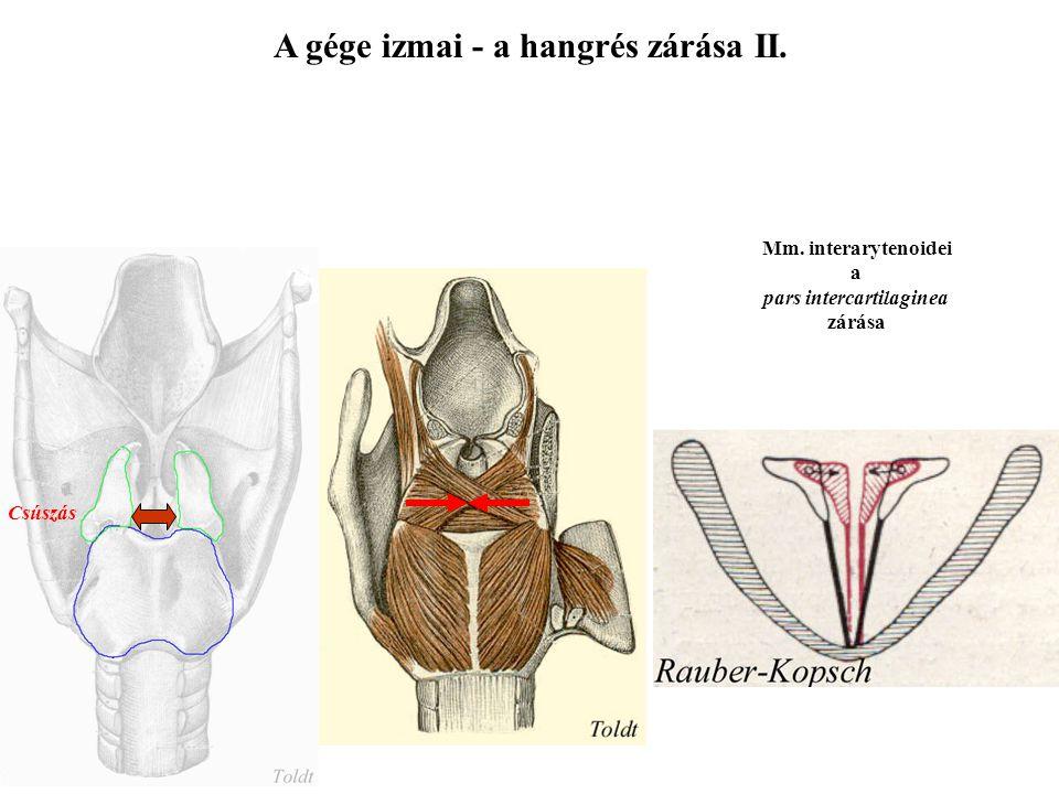A gége izmai - a hangrés zárása II. pars intercartilaginea