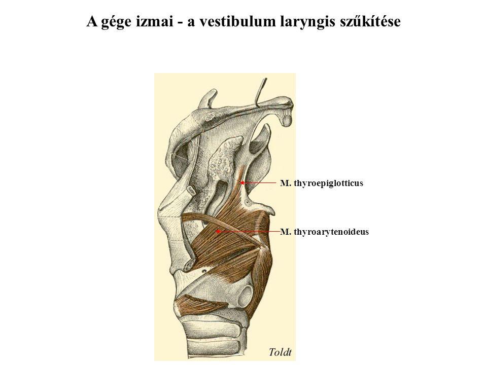 A gége izmai - a vestibulum laryngis szűkítése