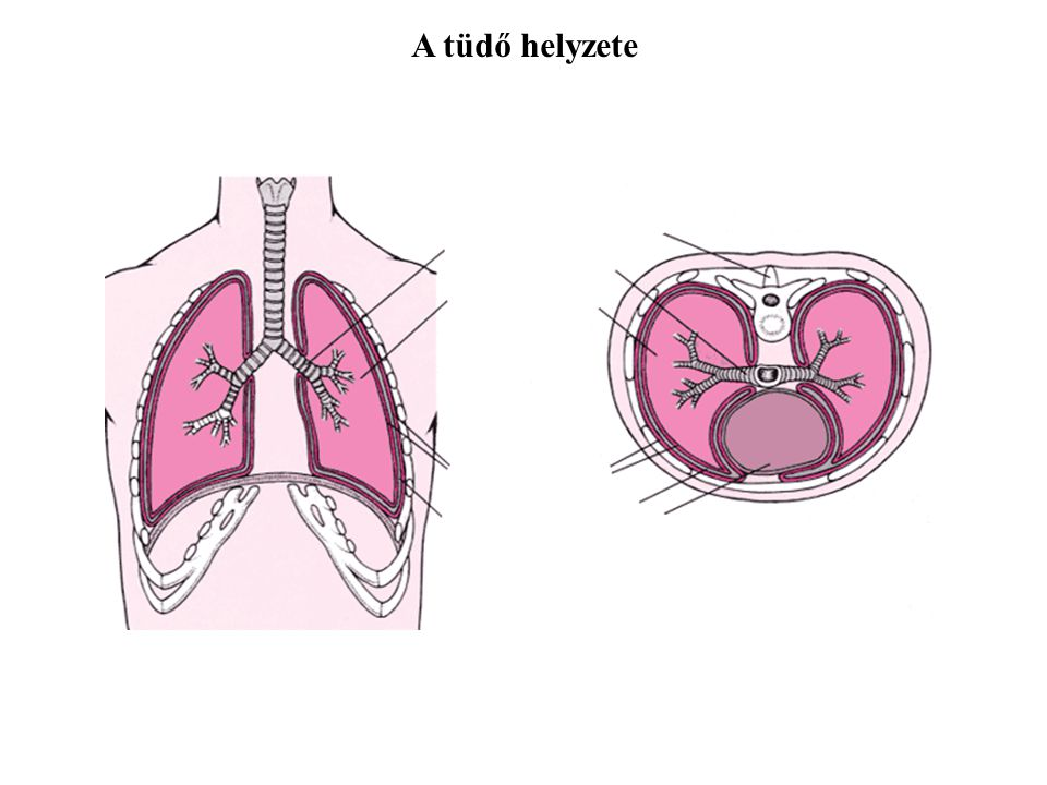 A tüdő helyzete