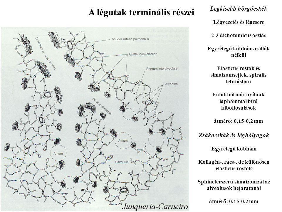 A légutak terminális részei