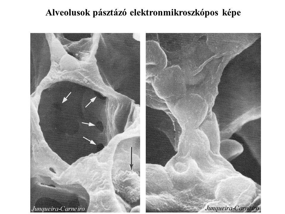 Alveolusok pásztázó elektronmikroszkópos képe