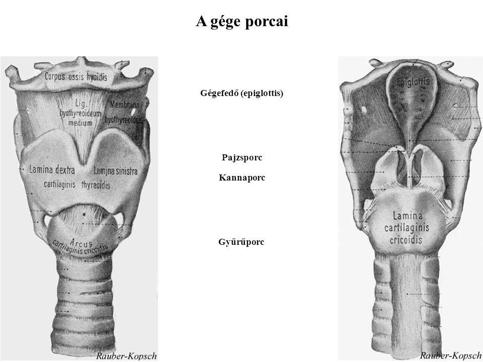 A gége porcai Gégefedő (epiglottis) Pajzsporc Kannaporc Gyűrűporc