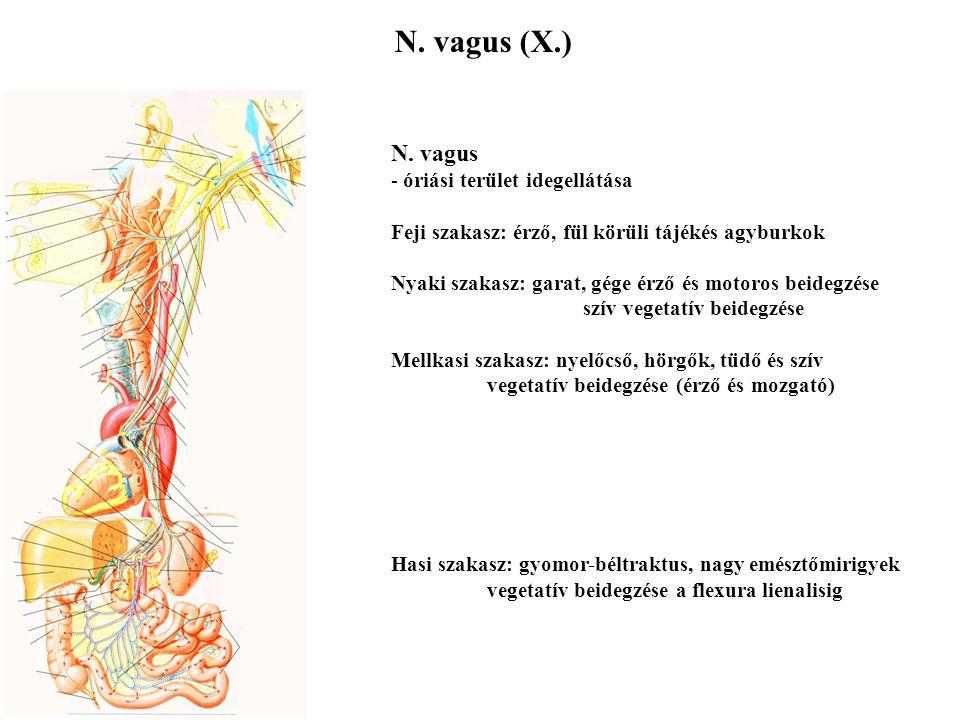 N. vagus (X.) N. vagus óriási terület idegellátása