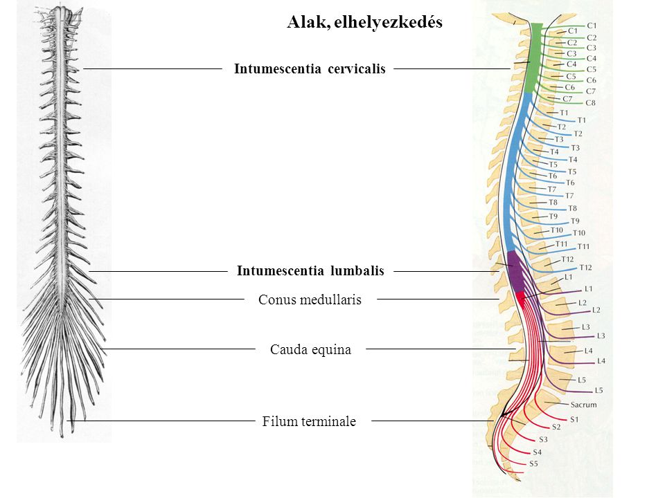 Alak, elhelyezkedés Intumescentia cervicalis Intumescentia lumbalis