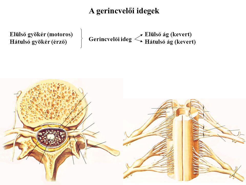 A gerincvelői idegek Elülső gyökér (motoros) Hátulsó gyökér (érző)