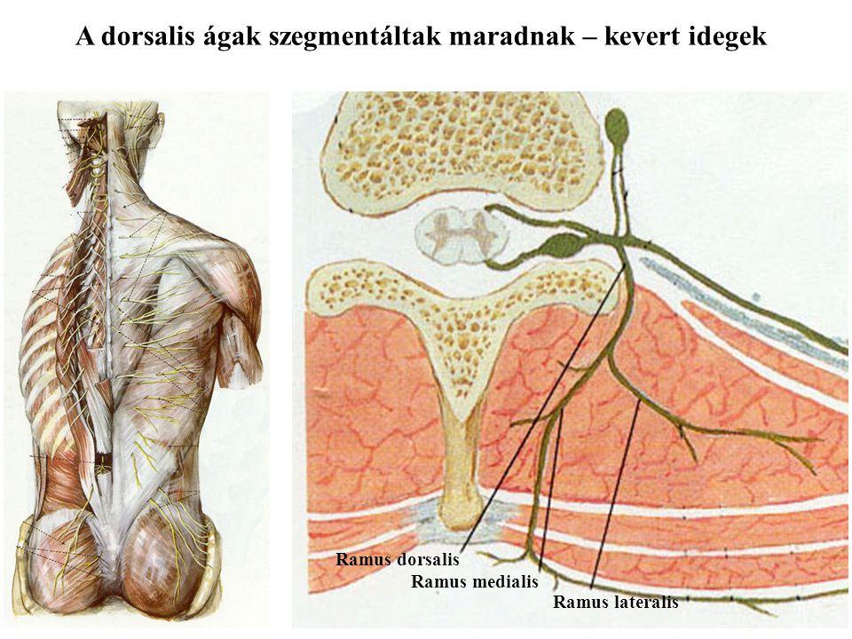 A dorsalis ágak szegmentáltak maradnak – kevert idegek