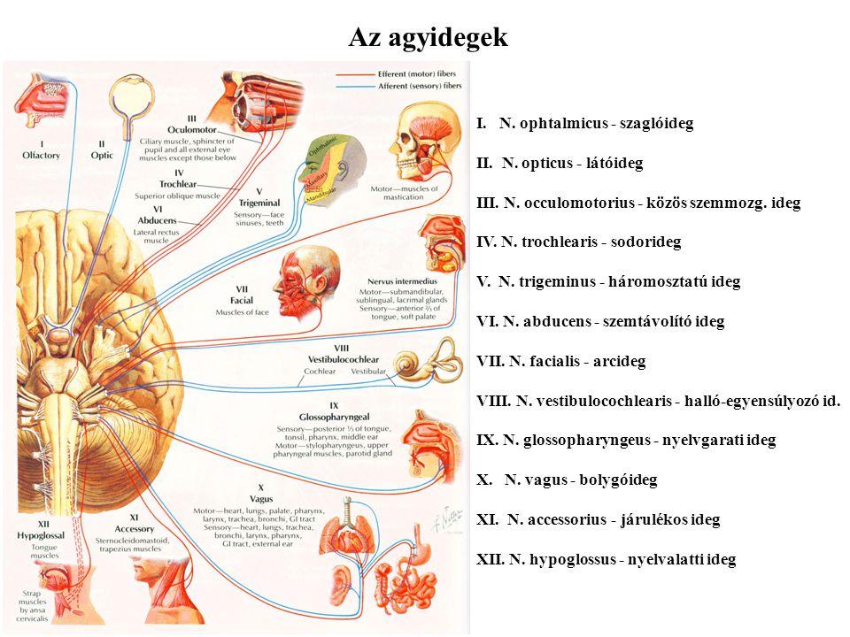 Az agyidegek I. N. ophtalmicus - szaglóideg II. N. opticus - látóideg