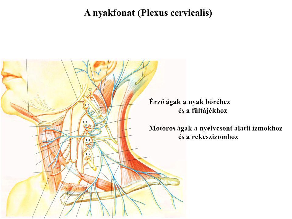A nyakfonat (Plexus cervicalis)