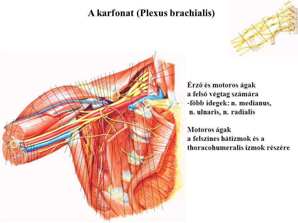 A karfonat (Plexus brachialis)