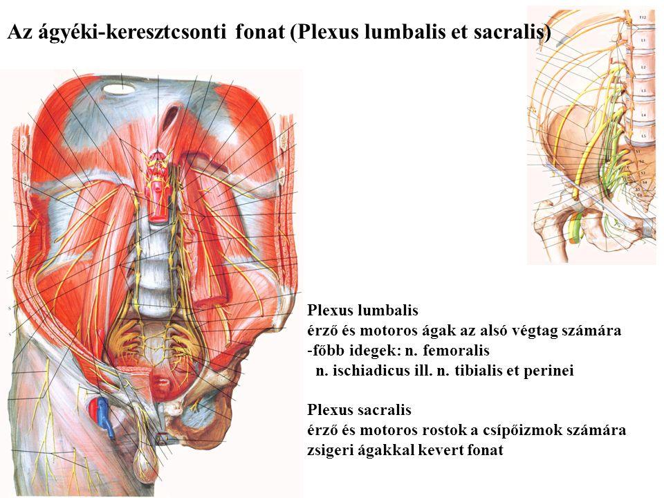 Az ágyéki-keresztcsonti fonat (Plexus lumbalis et sacralis)