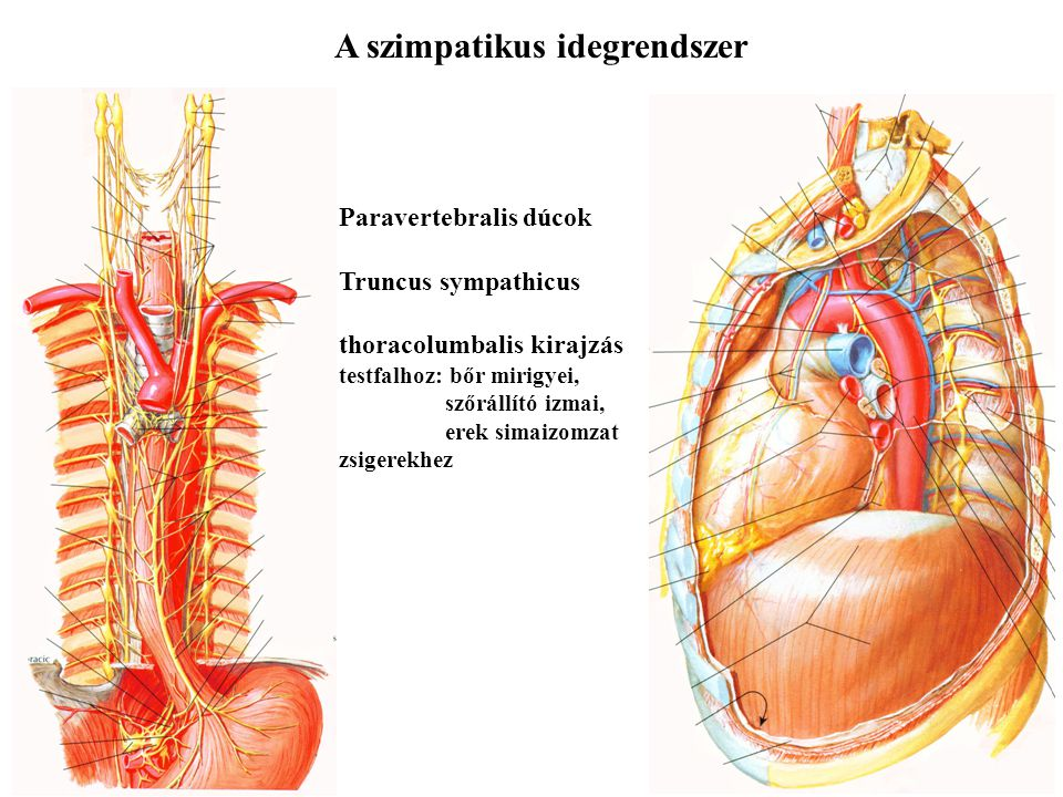 A szimpatikus idegrendszer