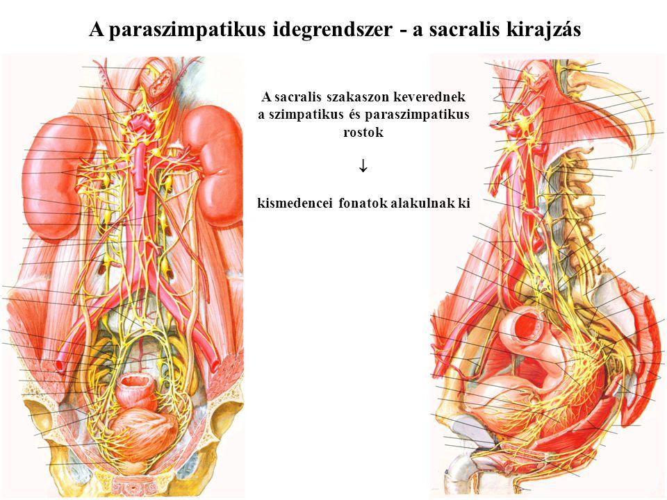 A paraszimpatikus idegrendszer - a sacralis kirajzás