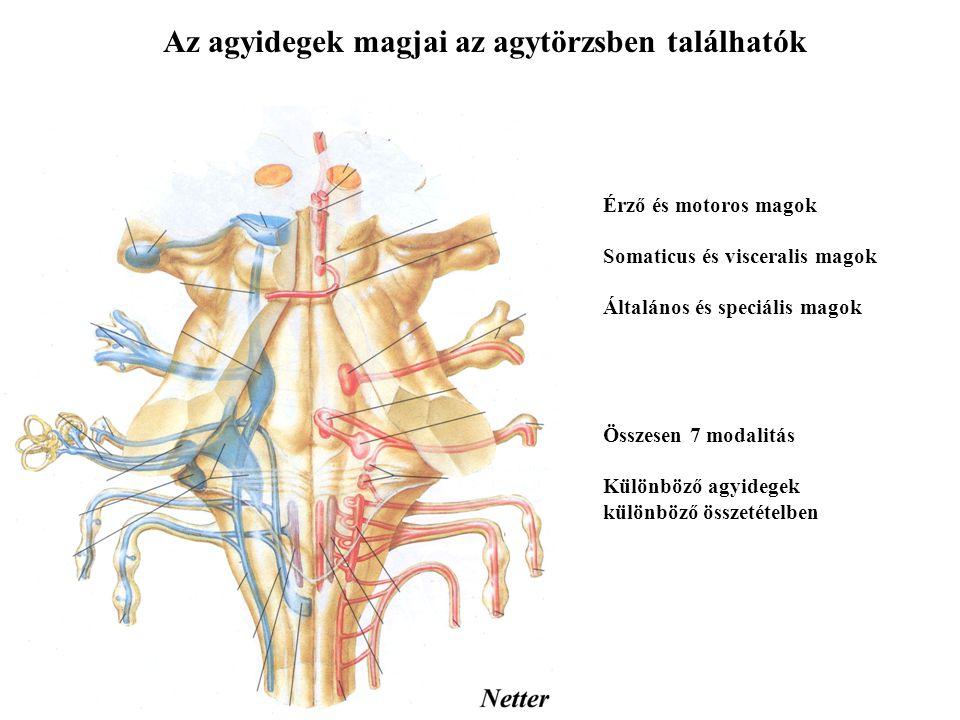 Az agyidegek magjai az agytörzsben találhatók