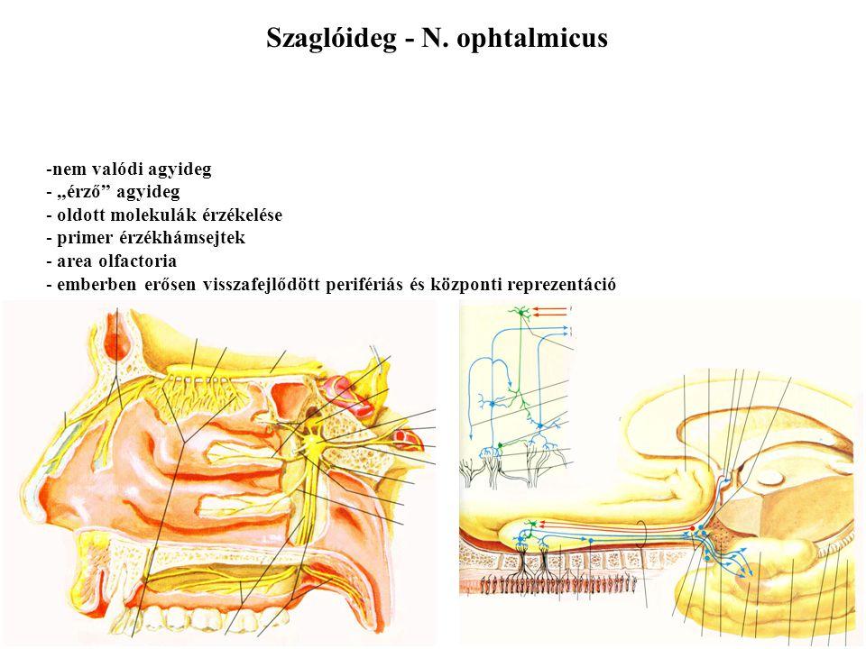 Szaglóideg - N. ophtalmicus