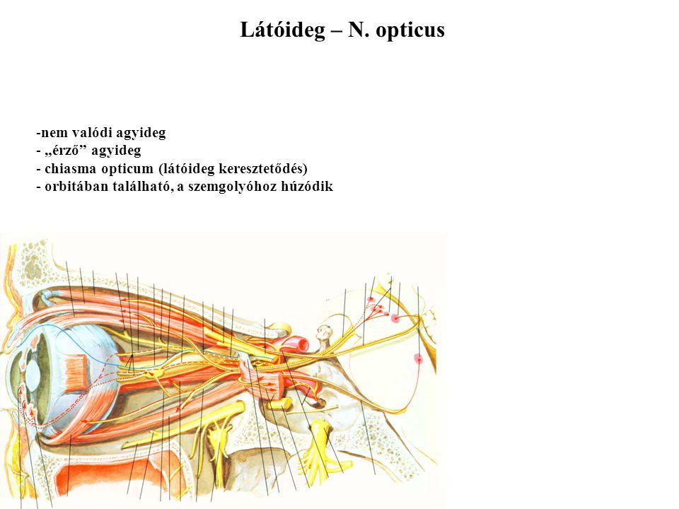 """Látóideg – N. opticus nem valódi agyideg """"érző agyideg"""