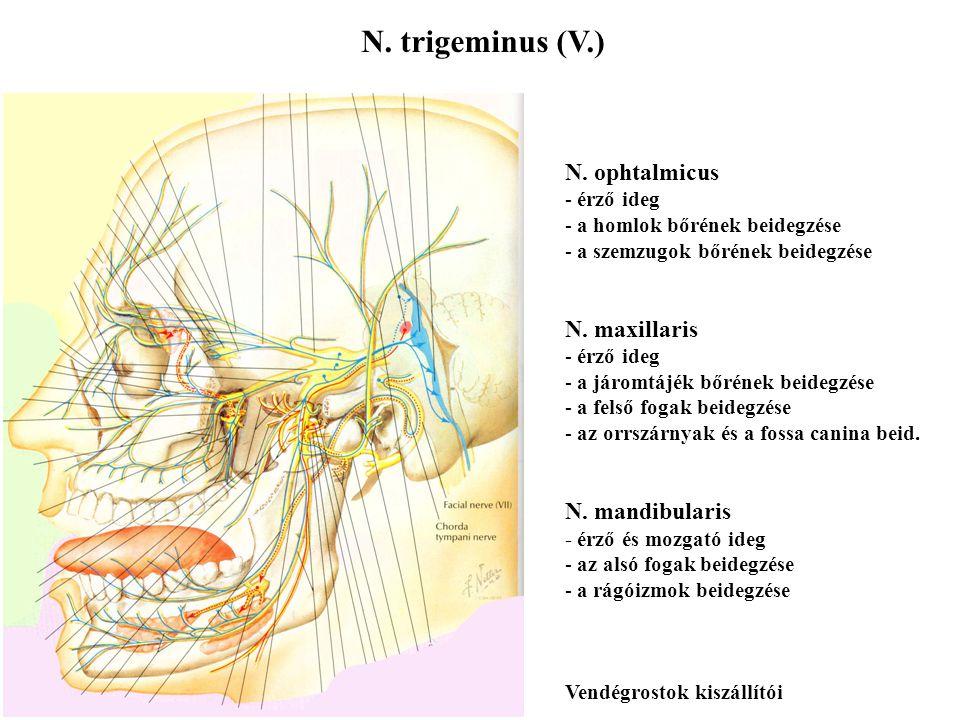 N. trigeminus (V.) N. ophtalmicus N. maxillaris N. mandibularis