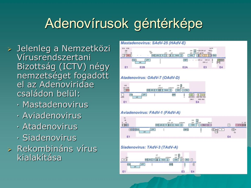 Adenovírusok géntérképe