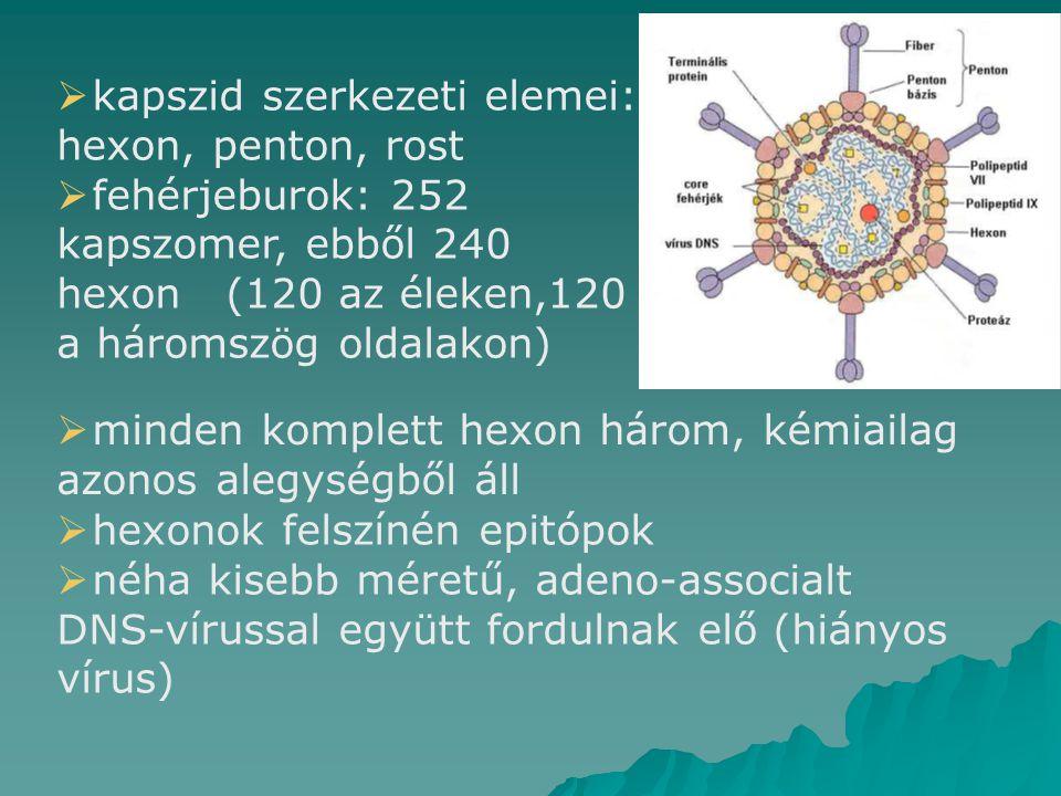 kapszid szerkezeti elemei: hexon, penton, rost