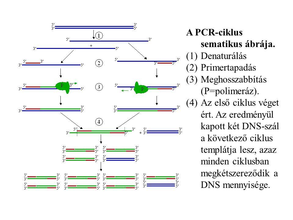 A PCR-ciklus sematikus ábrája.