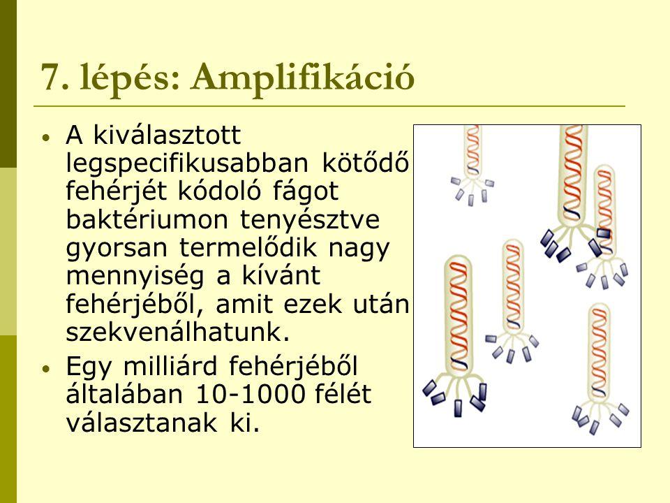 7. lépés: Amplifikáció