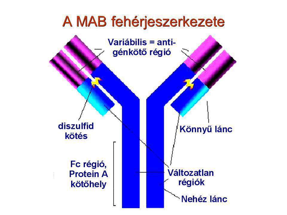 A MAB fehérjeszerkezete