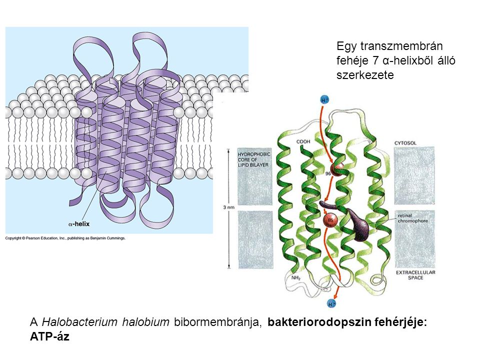 Egy transzmembrán fehéje 7 α-helixből álló. szerkezete. A Halobacterium halobium bibormembránja, bakteriorodopszin fehérjéje: