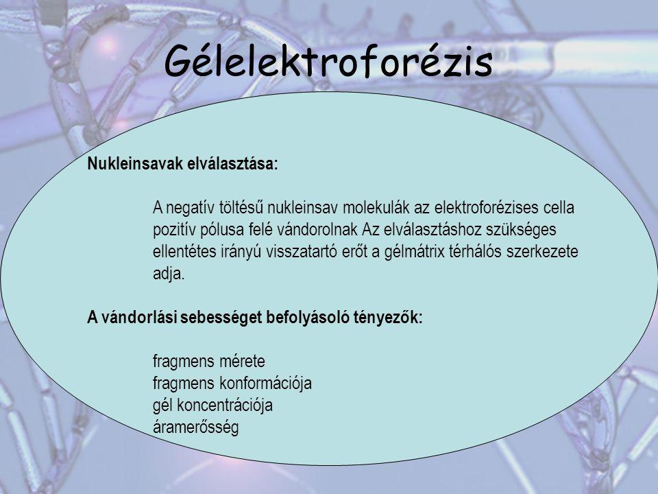 Gélelektroforézis Nukleinsavak elválasztása: