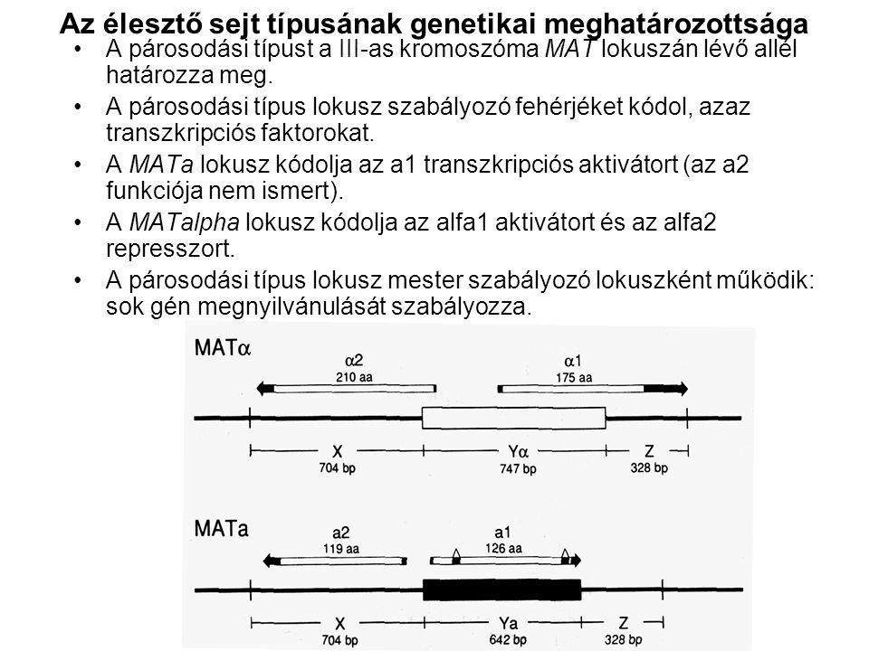 Az élesztő sejt típusának genetikai meghatározottsága